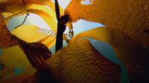 Tall Kelp Forest
