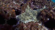 Wobbegong Carpet Shark