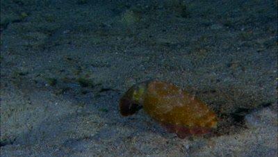 Cuttlefish Hunting Night