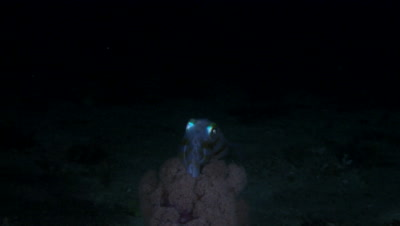 Squid over Coral at Night