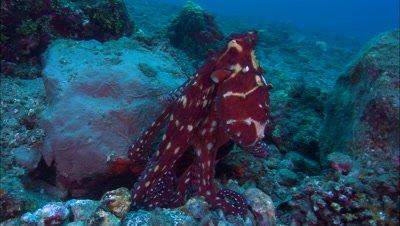 Reef Octopus