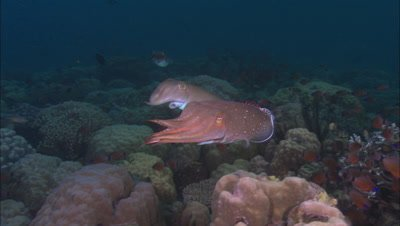 Cuttlefish in Papua New Guinea