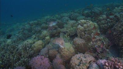 Cuttlefish in Papua New Guinea