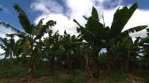 Close Up Banana Plantation In Breeze