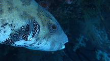 Puffer Fish, Possibly Blue-Spotted