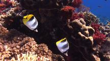 Pair Of Double-Saddle Butterflyfish Feed On Reef Corals