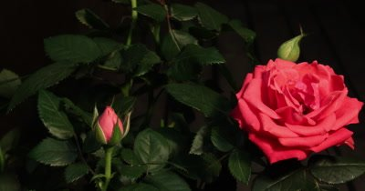 4k Timelapse of red pink rose growing on green leaves background