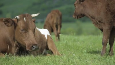 4K Mother cow and her calf grazing on green pasture