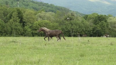 Slow motion shot of a horse with a foal in the pasture