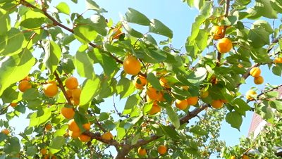 Slow motion shot of a ripe apricots grow on a branch among green leaves