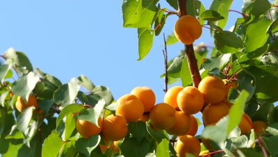Ripe apricots grow on a branch among green leaves