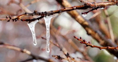 Icicles dripping and melting from swaying tree branch