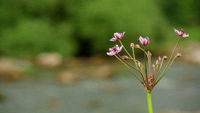 Butomus umbellatus flowers on a background of water