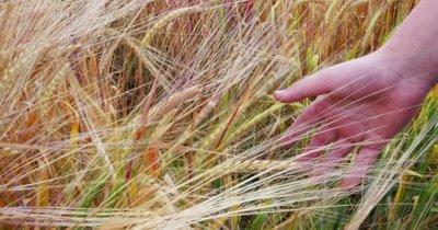 Close-up of children's hand running through wheat field, dolly shot