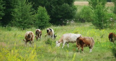 Herd of cows in a natural environment grazing on idyllic pasture