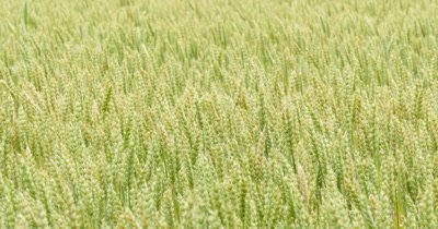 Green wheat on a grain field