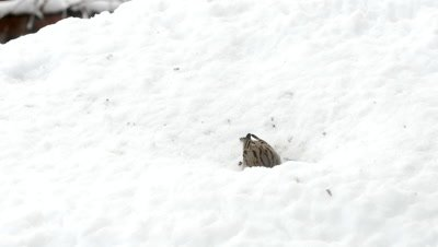 House sparrow sitting in fresh snow and  eating