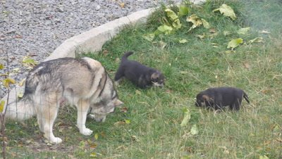 Alaskan malamute parent playing with puppies on the garden