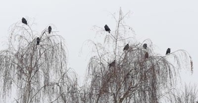 Silhouette of a big crow on the tree branch