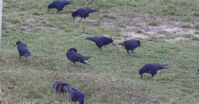 Crows walking through the grass and searching for food