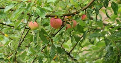 Juicy apple hanging on a tree branch in the garden with leaves covered with water drops from rain