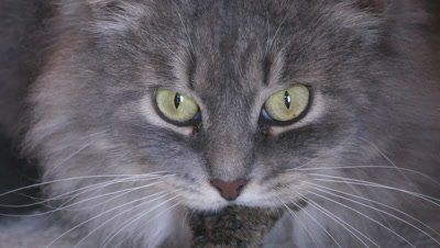 Gray cat has the little mouse in mouth
