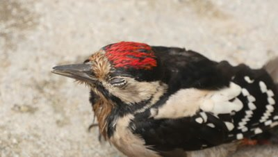 Great spotted woodpecker at rest