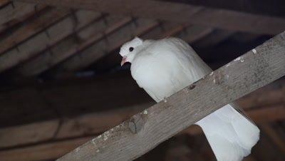 All white pigeon perched under a house roof resting