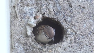 Sparrow chicks waiting to be fed