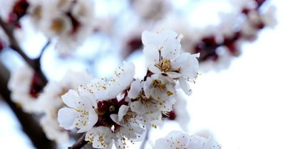 Tree branch with white flowers of spring background