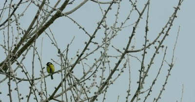 A blue tit (Cyanistes caeruleus) is sitting on a hoarfrost-covered twig on cold winter's day