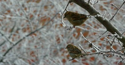 Sparrows standing on the branches and flying