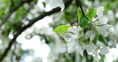 Apple-tree flower bright white illuminated by a bright ray of the spring sun and blue sky on a back background