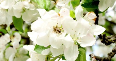 Bee on a blossoming branch of an apple tree in sunny spring day