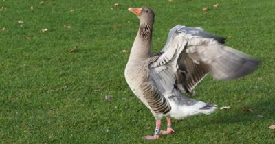 Gray goose standing on a green grass flapping its wings