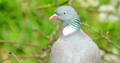Wood Pigeon Columba palumbus sitting on the branch