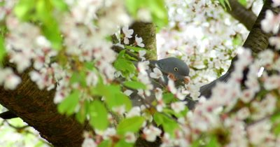 Pigeons build their nests in a flowering tree