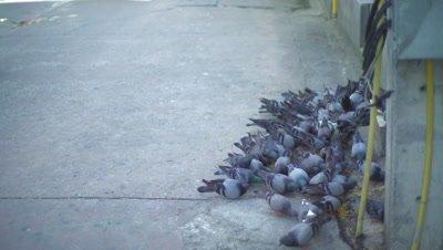 Pigeons feeding itself on a street pavement