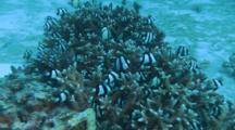 Humbugs Hide In Coral Head