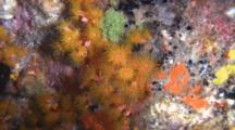 Cup Corals With Extended Polyps