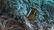 Anemone Fish In Host Anemone