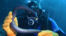 Diver Handles Olive Sea Snake