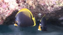 Dusky Butterfly Fish In Current