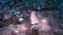 Freckled Hawkfish On Coral, Swims Away