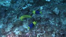Bicolor Angelfish Feed On Reef