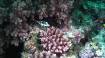 Black-Saddled Sharpnose Pufferfish On Reef
