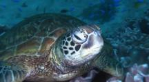 Sea Turtle Royalty Free Stock Footage