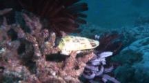 Cone Shell On Hard Coral