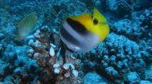 Moorish Idol And Butterfly Fish Feeds On Damaged Coral Head
