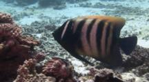 Six-Banded Angelfish Feeds On Coral